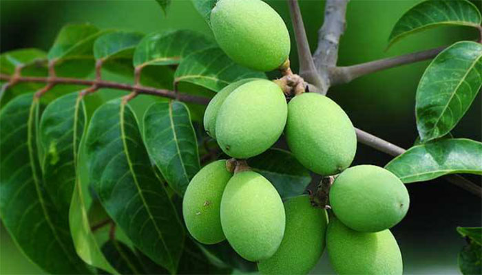 Chinese White Olive (Qing Guo)
